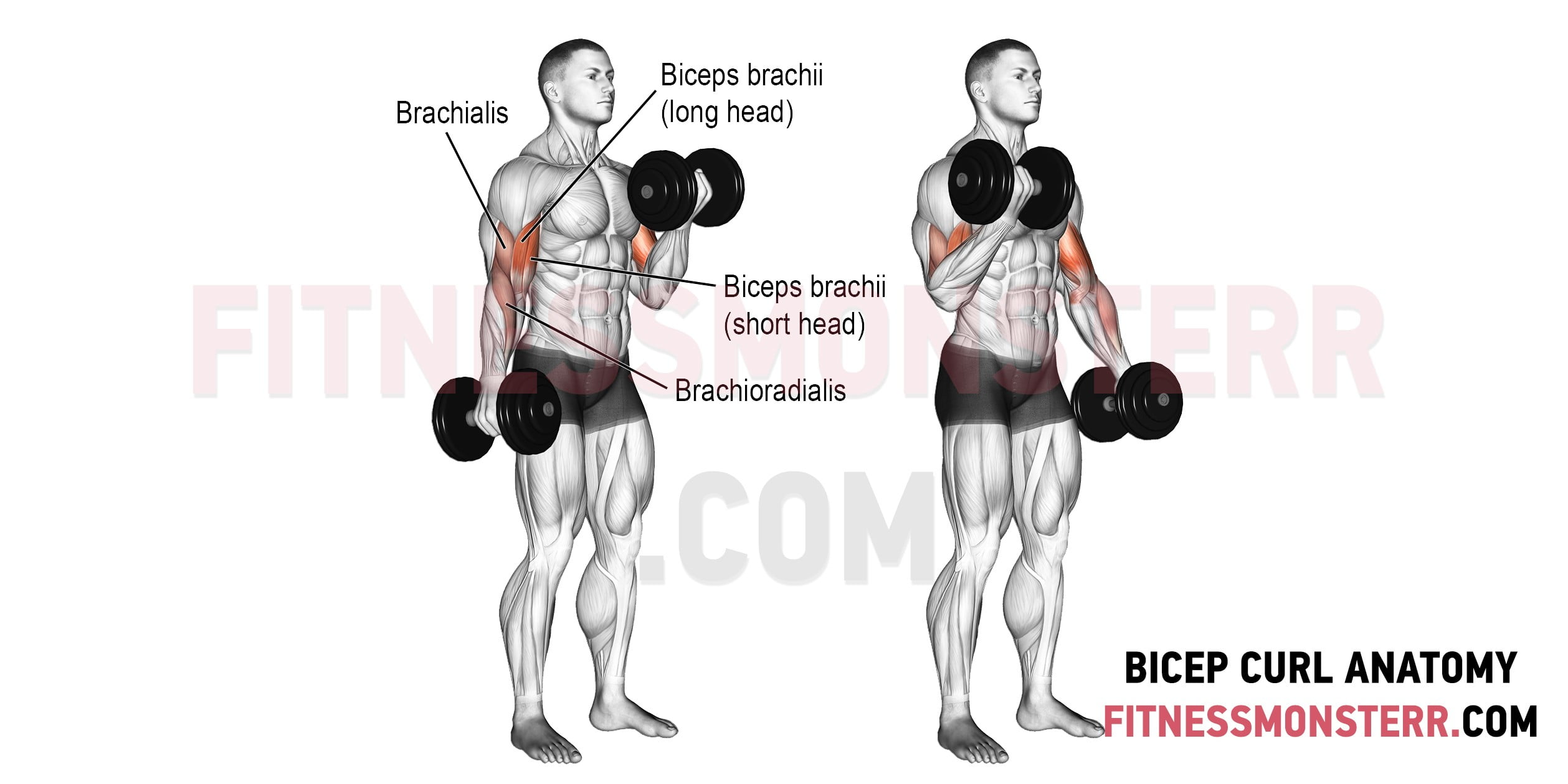 Bicep curls Muscles Worked Anatomy