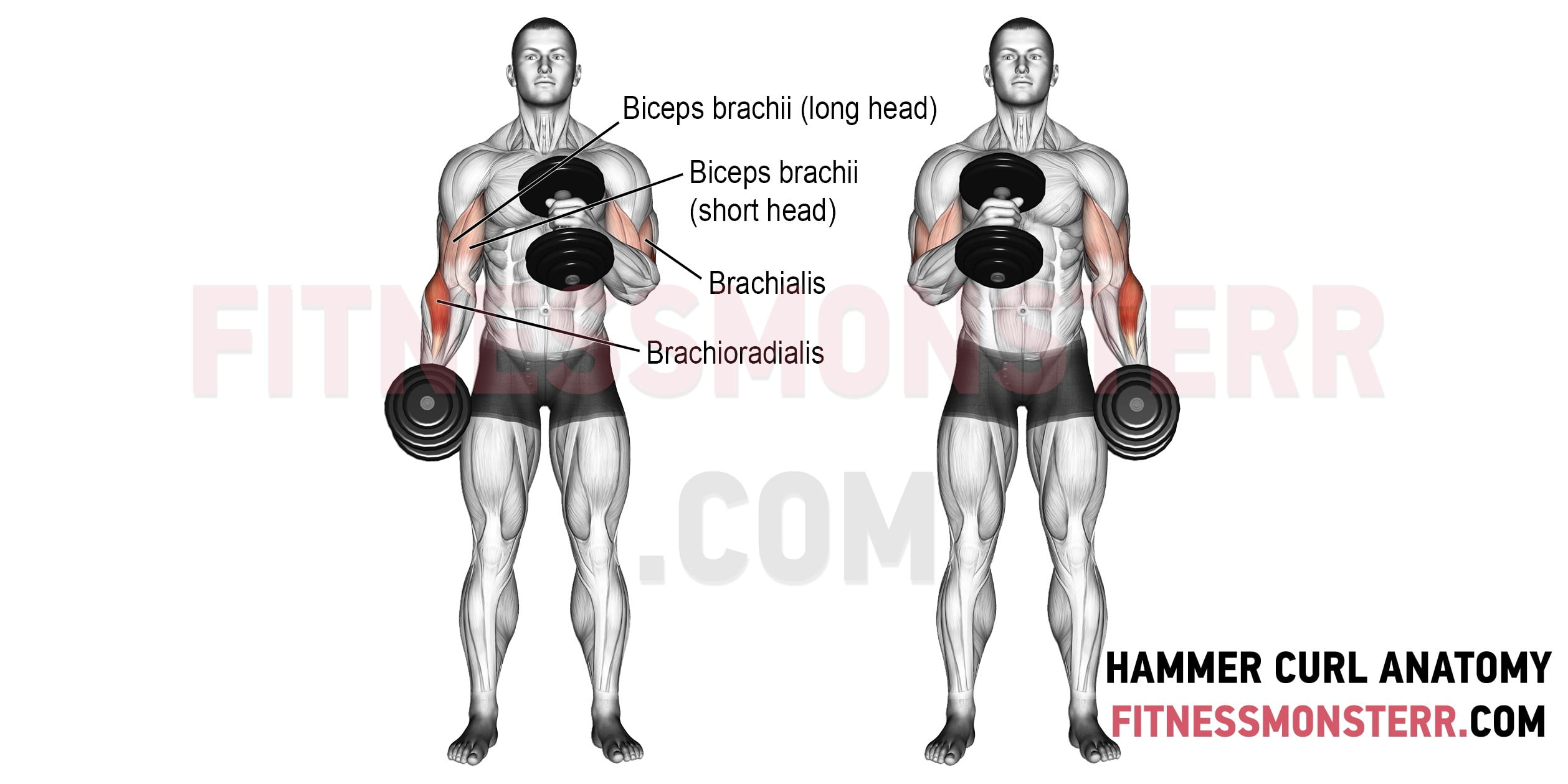 Hammer Curls Muscles Worked Anatomy